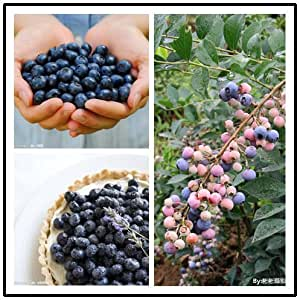 AMERICAN BLUEBERRY Fruit Seeds, Germination 95%+ , (10 BLUEBERRY Seeds),