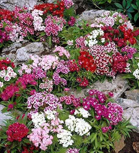 Perennial: SWEET WILLIAM 'MIX', 40 seeds - Dianthus barbatus - Rock Gardens, Easy To Grow - High Germination, Fresh Seed … -
