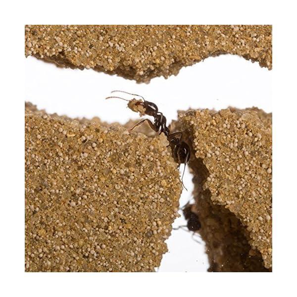 AntHouse - Formicaio Naturale di Sabbia - Kit Inizio Acrilico 20x10x10 cm (Formiche Incluse con Regina) 3 spesavip