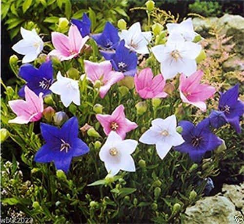 Balloon flowers seeds-Mix-Chinese Bellflower (Jie-Geng)-Platycodon Grandiflorus (100 Seeds)