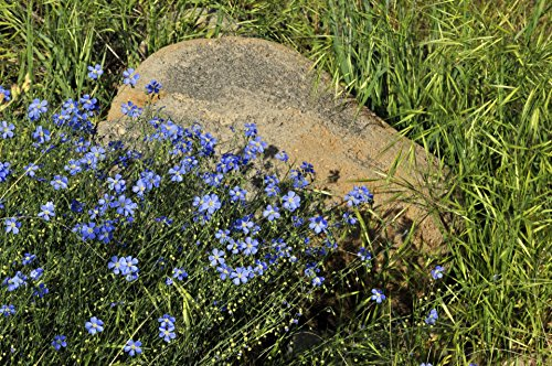 Blue Flowers And A Rock Flowers Poster Print 24x 36 Print...