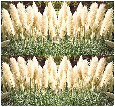 100 WHITE PAMPAS GRASS seeds ORNAMENTAL & DECOR ~!! Perennial In Zones 7 - 10