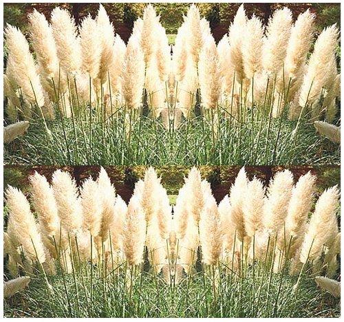100 white pampas grass seeds ornamental decor for Ornamental pampas grass