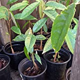 1 Live Durian Plant - Sau Rieng - 9 To 13 Inches Tall