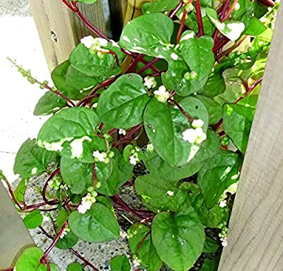 30+ ORGANICALLY GROWN Malabar Red Stem Spinach Seeds Herb Heirloom NON-GMO Phooi leaf, Red Vine, Alugbati, Vietnamese,From USA
