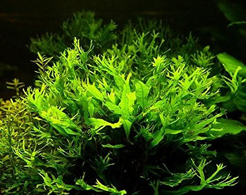 Pictures of Lace Java Fern Potted (Microsorum Windelov) Freshwater 9