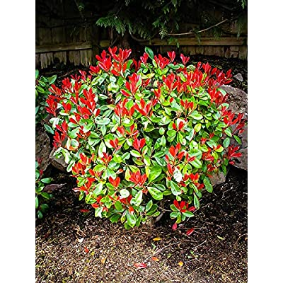 Redtip Fraser's Photinia - Live Plant in a 6 Inch Pot - Photinia Fraseri - Fast Growing Evergreen Shrub : Garden & Outdoor