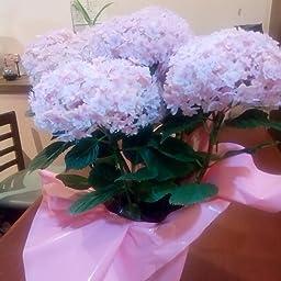 Amazon Bunbunbee 母の日 アジサイ鉢 スイーツセット てまりてまり ピンク マロンとショコラの贅沢パウンド 観葉植物 オンライン通販