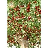 Organic Rome Tomato Tree Seeds, Bulk Pack, 100 Seeds / Pack, Middle Fruit Great Tasty KK026