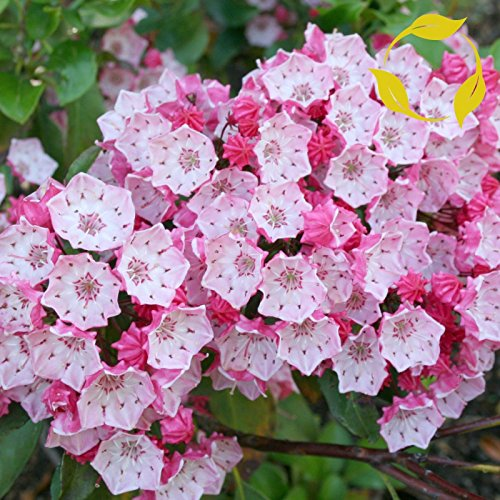 MOUNTAIN LAUREL Kalmia Latifolia - 50+ SEEDS