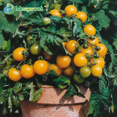 potted tomato seeds - 1