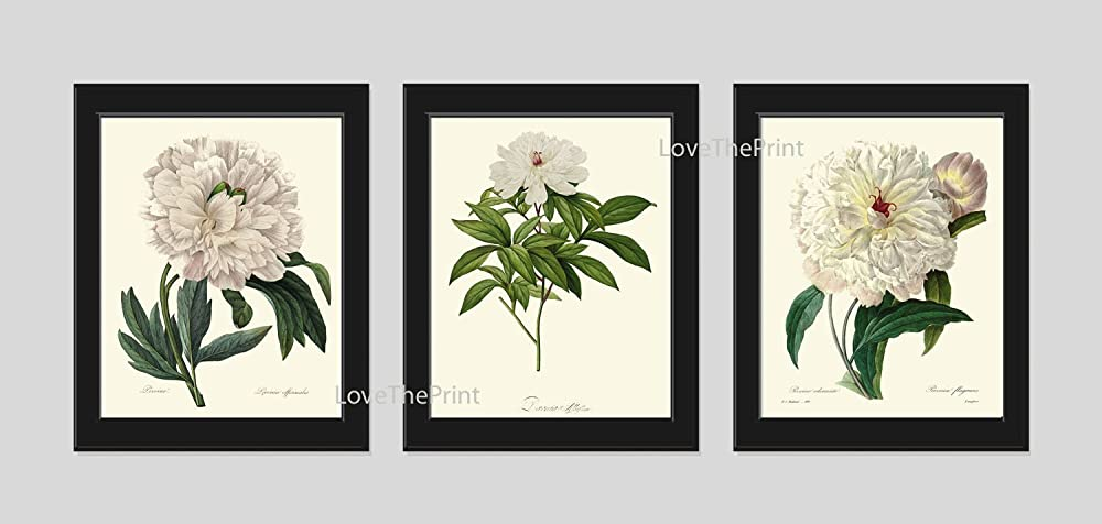 Botanical Print s of 3 Antique Beautiful Redoute White Large Peony Plants Garden Nature