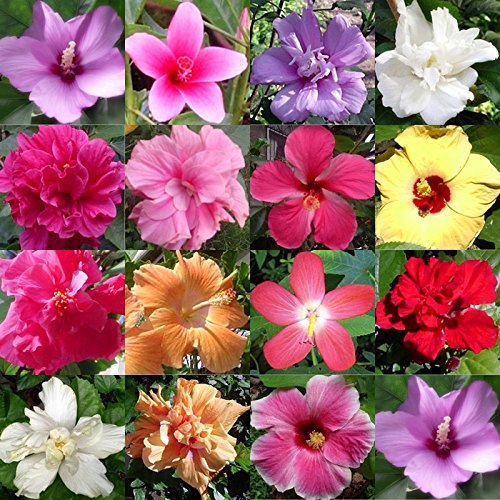 (Majestic Mixed Dinner-plate Hibiscus (45+ Seeds) - My Secret Gardens - Beautiful Blooms - UPC742137106056)
