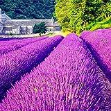 Bluelans 100Pcs/Pack Lavender Herb Seeds Home Balcony Garden Aromatic Plants Flower Seeds