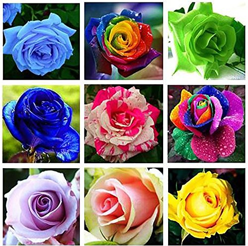 - The Best Seller 100 SEEDS 20 kinds mixed 100 rose seeds/pack ,Four Seasons sowing the seeds of perennial flowers, rose flowers seeds easy to plant.