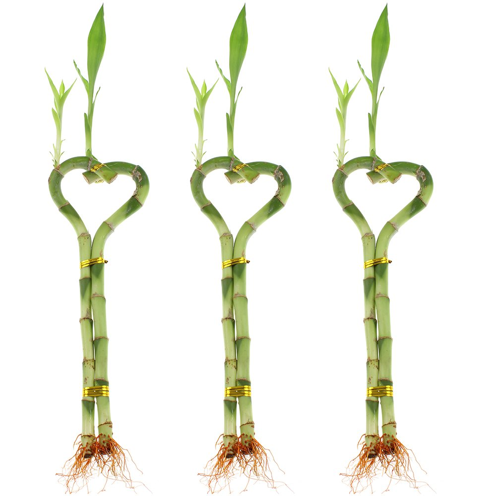 NW Wholesaler - 8'' Heart Shaped Lucky Bamboo Arrangement Bundle of 3