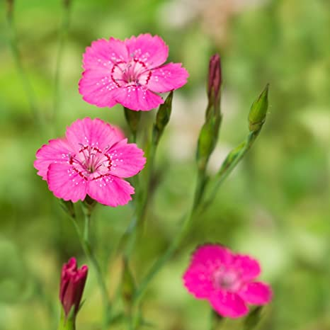 Pack of 400 Premier Seeds Direct RD-MWBI-XFQS Dianthus Spring Beauty Mixed Perennial Seeds