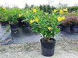 Allamanda schottii, Bush Allamanda - 3 Gallon Live Plant