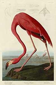 American Flamingo by John James Audubon Wildlife Nature Print Poster 24x36