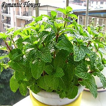 Los Estados Unidos de semillas de girasol semillas de girasol cubierta de hojas flores de aceites comestibles están disponibles 500 granos