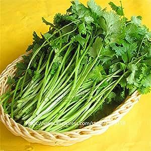 Nuevos 200 piezas de alta calidad Cilantro Semillas de legumbres Semillas de hierbas Rendimiento fructífera Jardín crisol del plantador