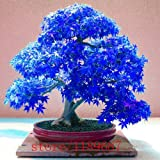 20pcs Purple blue Ghost Japanese Maple Tree, (Acer Palatum),bonsai flower seeds,tree seeds,potted plant for home & garden