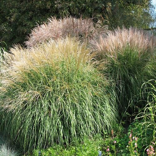 Outsidepride Miscanthus Grass 500 Seeds