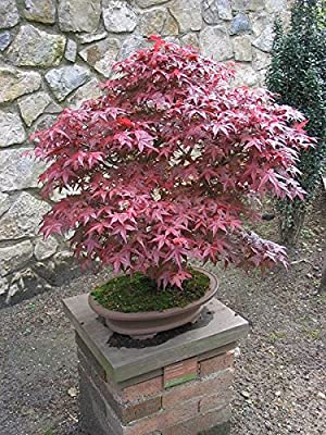 15 Seeds Bloodgood Japanese Maple (ACER palmatum matsumurae Bloodgood) Bonsai Tree