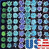 Blue Sedum Mix 25, 50, 75, 100 seeds