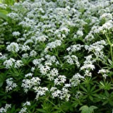 Sweet Woodruff Seeds (Galium odoratum) 10+ Rare Medicinal Herb Seeds + FREE Bonus 6 Variety Seed Pack - a $29.95 Value! Packed in FROZEN SEED CAPSULES for Growing Seeds Now or Saving Seeds for Years