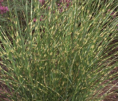 Dwarf Zebra (Miscanthus Little Zebra (Dwarf Maiden Grass), 3 GAL)