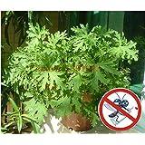 100 pezzi Riddex pianta semi Mosquito repellente antizanzare erba Buster Sweetgrass. Garden & Home Bonsai Plant. Indoor Plant