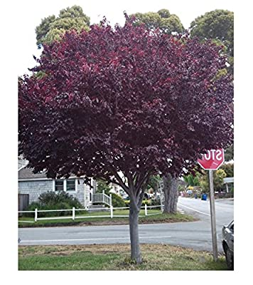 Cherry Plum Seeds Prunus Cerasifera Fragrant Ornamental Tree, 5pcs