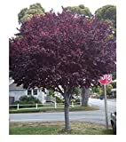 5 Cherry Plum seeds Prunus Cerasifera Fragrant Ornamental Tree CombSH M63