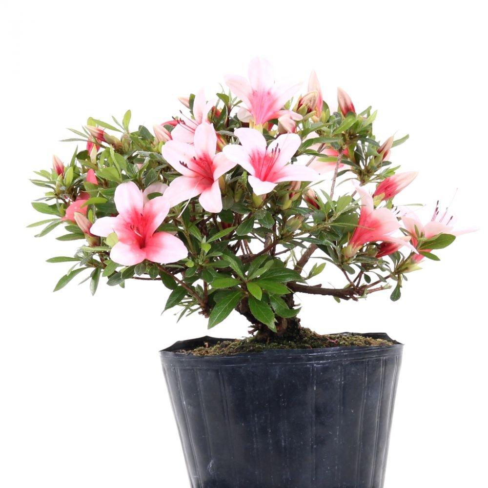 Bonsai - Jap. Satsuki Azalee 'Hi-no-Maru', Rhododendron indicum 183/64