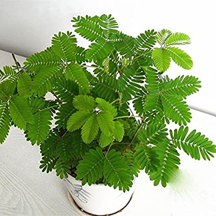 Hot Selling Gimax 30Pcs//Pack Mimosa Seeds Garden Courtyard Bashful Grass Sensitive Potted Plants Color: Blue