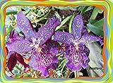 Beallara 2017: Orchid