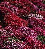 50+ Aubrieta Rock Cress Bright Red Perennial Flower Seeds / Ground Cover