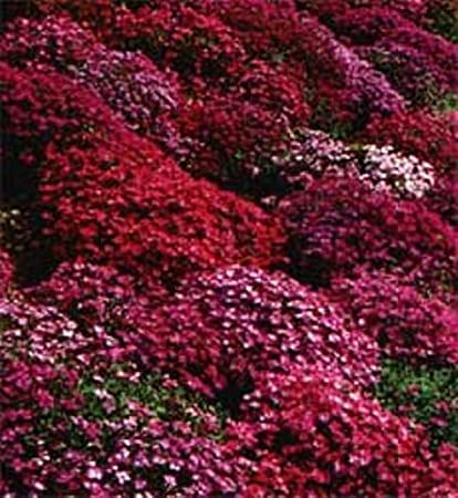 Amazon 50 aubrieta rock cress bright red perennial flower 50 aubrieta rock cress bright red perennial flower seeds ground cover mightylinksfo