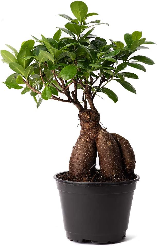 American Plant Exchange Ficus Ginseng Microcarpa Easy Care Bonsai Tree Live Plant 6 Pot Indoor Air Purifying Beauty Amazon Ca Patio Lawn Garden