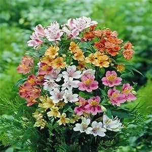Alstroemeria ligtu DR SALTERS HYBRIDS MIX Peruvian Lily Seeds!