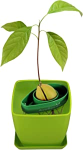 AvoSeedo Bowl Set Grow Your Own Avocado Tree, Evergreen, Perfect Avocado Tree Growing Kit for Every Avocado Lover with Plan Pot - Green & Green