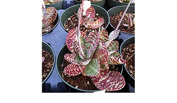Desert Surprise Kalanchoe Seeds Plant Seeds Now or Save Seeds Longer 50+ Rare Succulent Seeds in FROZEN SEED CAPSULES for the Gardener /& Rare Seeds Collector Kalanchoe humilis