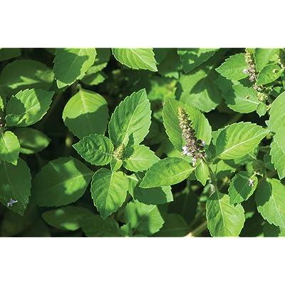 David's Garden Seeds Herb Basil Tulsi Kapoor Holy SL5533 (Green) 100 Non-GMO, Organic Seeds : Garden & Outdoor