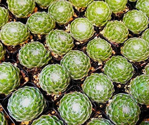 Fat Plants San Diego Mini Rosette Succulent Plants in Growers Pots by Fat Plants San Diego (Image #8)