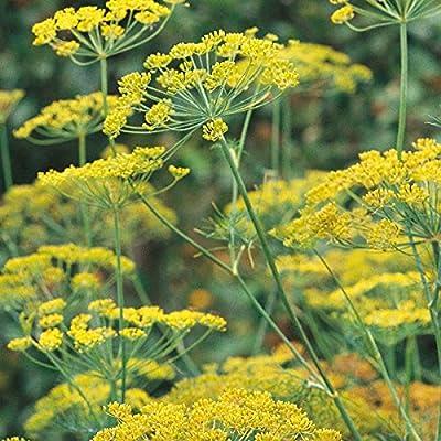 Dill - Dukat - 500 Seeds