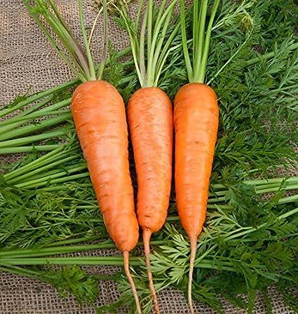 Amazon.com : Chantenay Carrot Seeds Extra Sweet Gourmet Great Market ...
