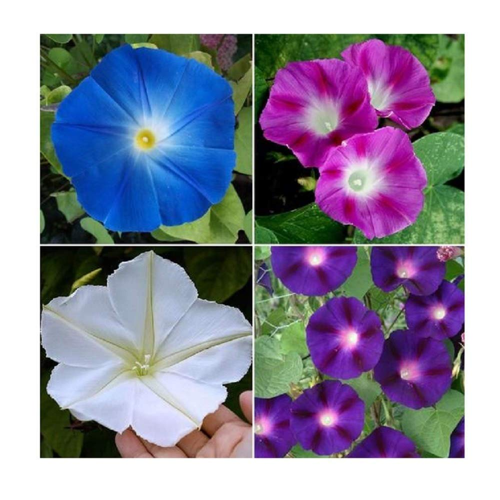 Davids Garden Seeds Flower Morning Glory Top of The Morning SL7776 (Multi) 50 Open Open Pollinated Seeds