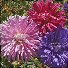 Package of 1,000 Seeds, Crego Mix China Aster (Callistephus chinensis) Open Pollinated Seeds By Seed Needs