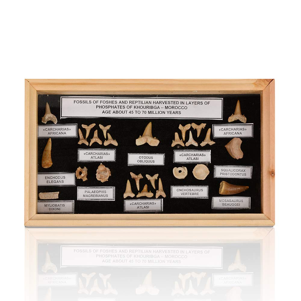 Fossil Shark Teeth Collection - Jurrasic Dinosaur Fossils - Museum Quality Fossil Display Box